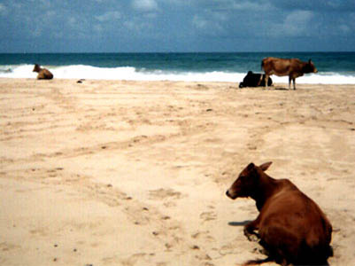 18_sri_cows
