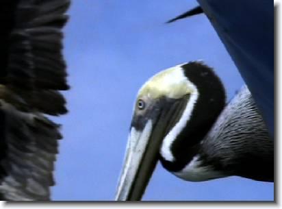 37pelican_birds