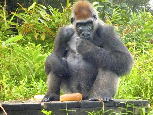 Congo Gorilla SID