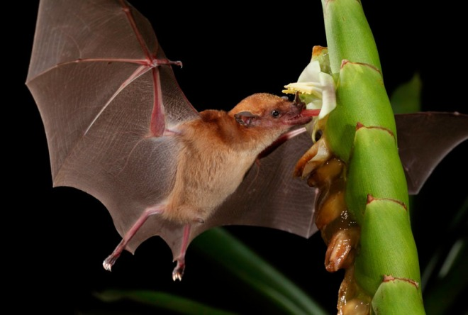 orange-nectar-bat-pollinates-832x560