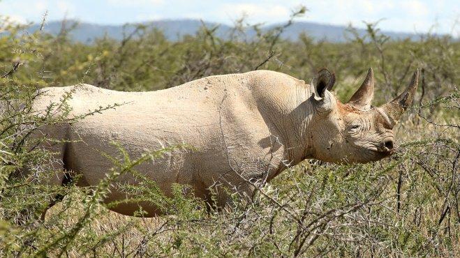 black-rhino-etosha-namibia_wide-40b65374e6f35f56faf85d069d2b72ba87191945-s1500-c85